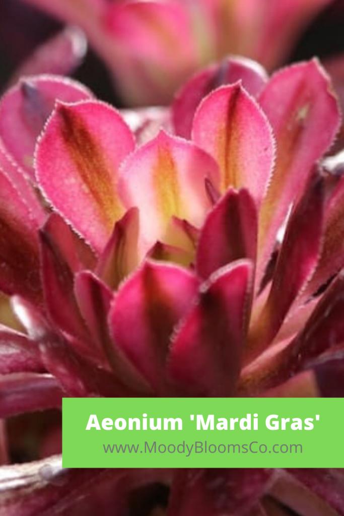 Aeonium 'Mardi Gras'