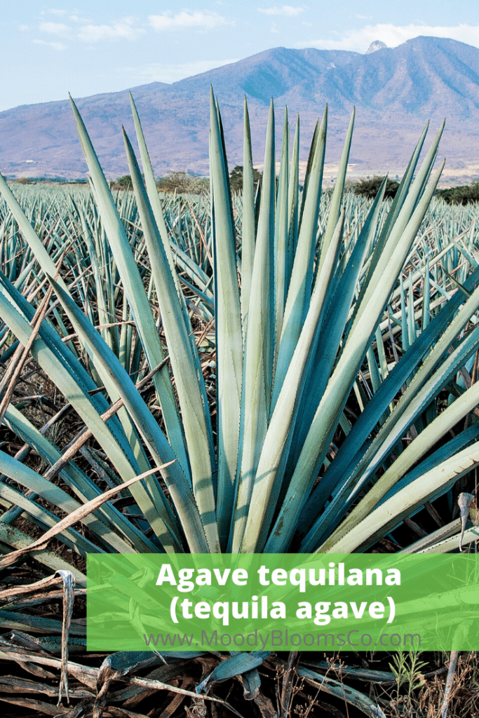 Agave tequilana (tequila agave)