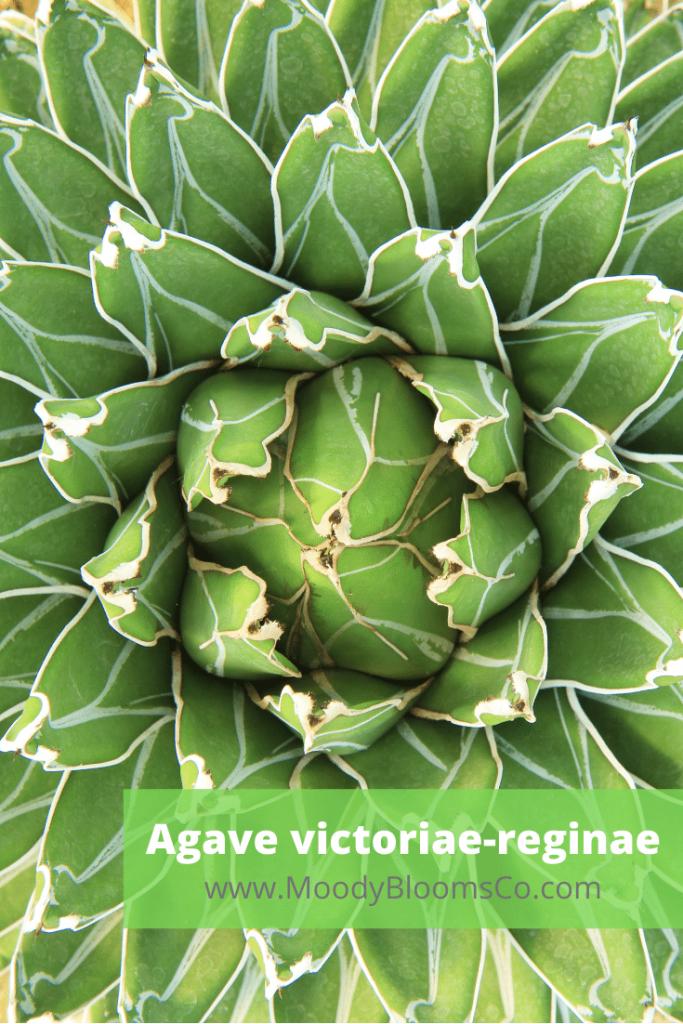 Agave victoriae-reginae