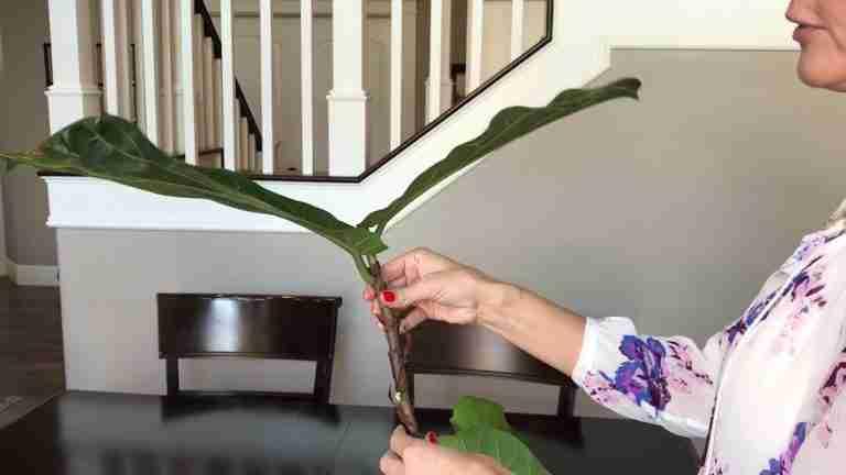 Propagate Fiddle Leaf Fig | Ficus Lyrata care
