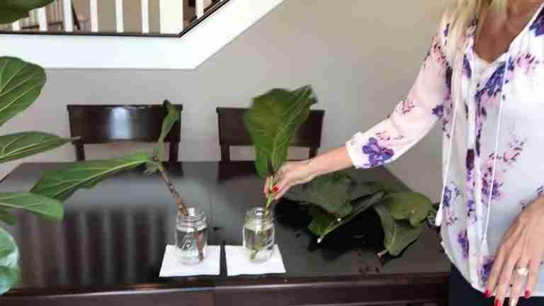 propagate fiddle leaf fig