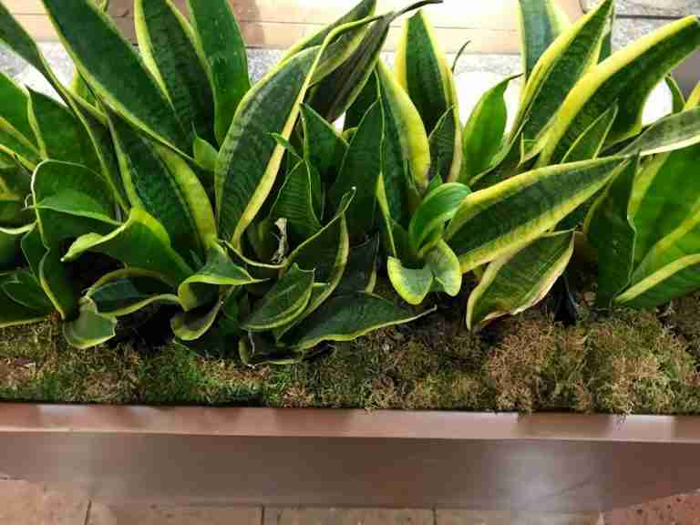 Snake Plant Care and Propagation   Sansevieria