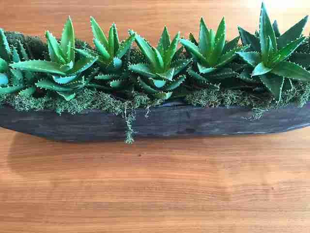 PROPAGATING Aloe plant aka Short Leaf Aloe pup (crocodile plant) transplant and potting