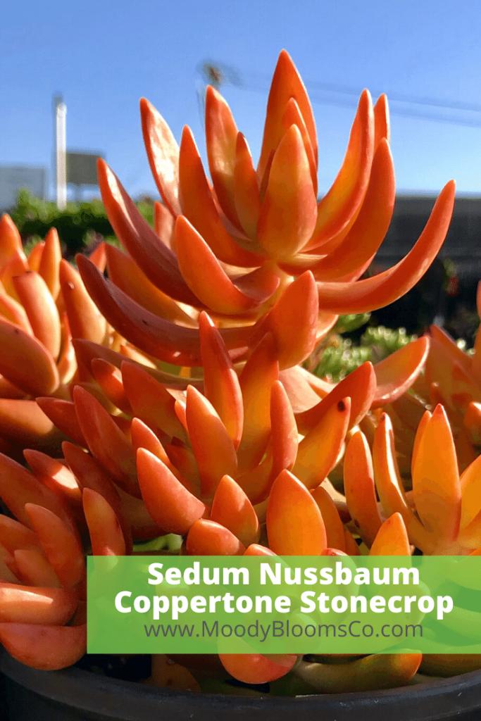 Sedum Nussbaum Coppertone Stonecrop