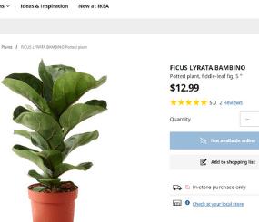 Fiddle leaf fig IKEA