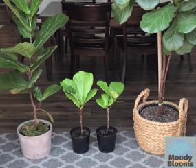 Fiddle leaf fig pot sizes