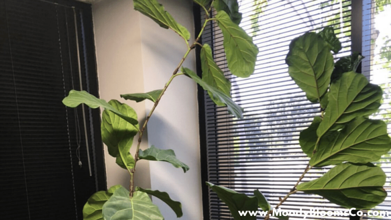 Fiddle leaf brown spots and how to fix them