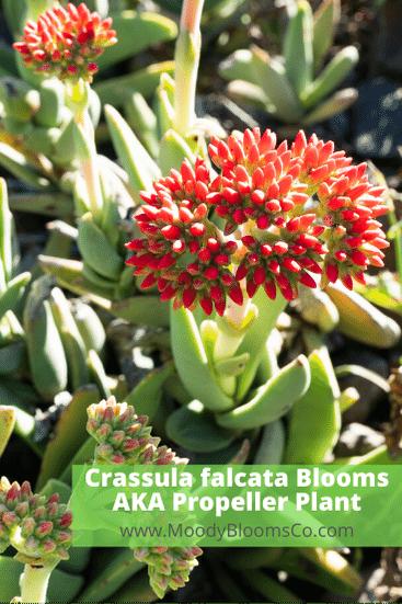 Crassula falcata Blooms