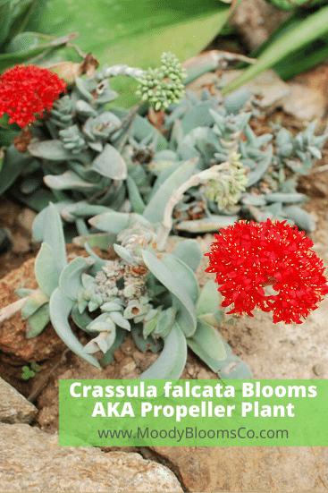 Crassula falcata in Bloom