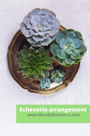 Echeveria Arrangement