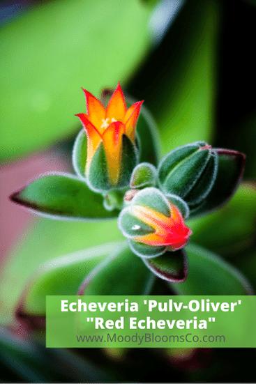 Echeveria 'Pulv-Oliver' (Red Echeveria)