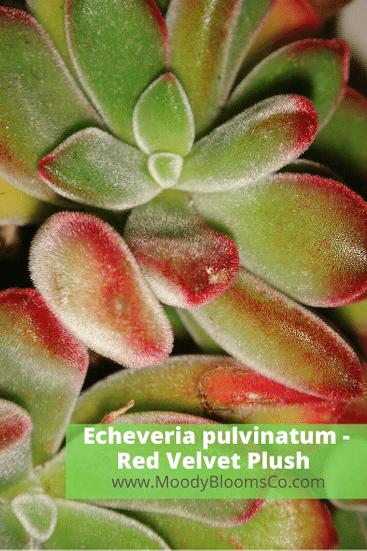 Echeveria pulvinatum - Red Velvet Plush