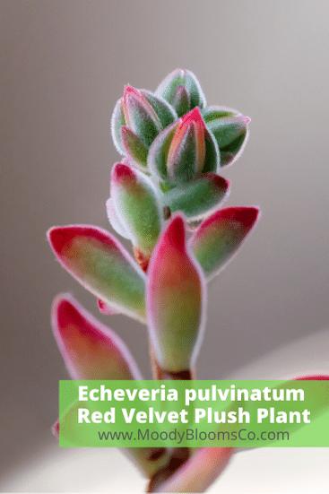 Echeveria pulvinatum - Red Velvet Plush Plant