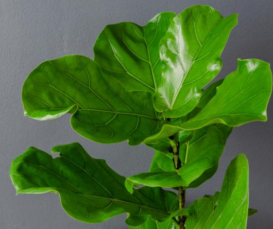 Fiddle Leaf Fig Tree 1