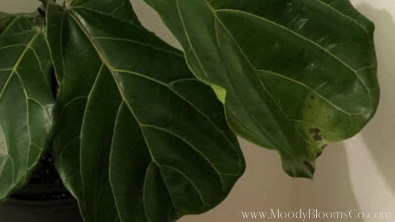 Fiddle leaf fig brown spots
