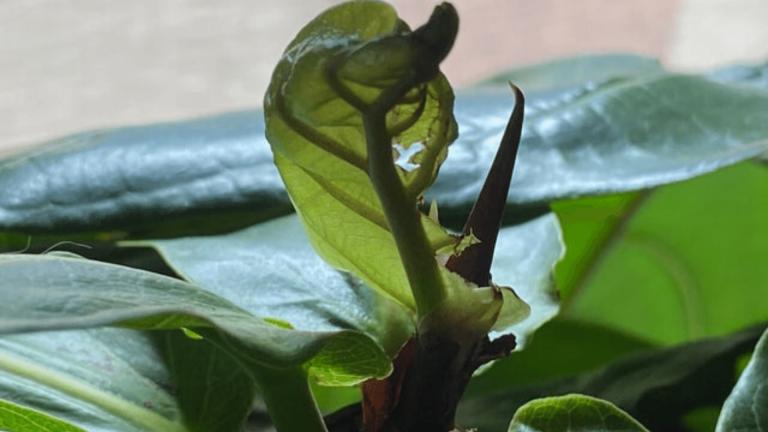 stuck FLF leaf