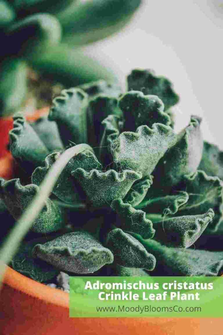 Adromischus cristatus Crinkle Leaf Plant