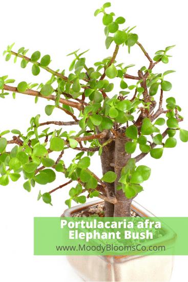 Portulacaria Afra Elephant bush
