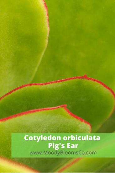 Cotyledon orbiculata Pig's Ear