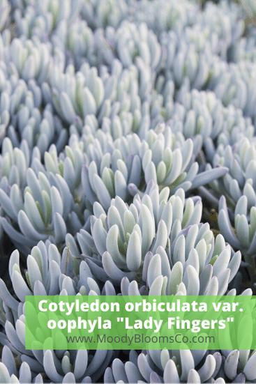 "Cotyledon orbiculata var. oophyla ""Lady Fingers"""