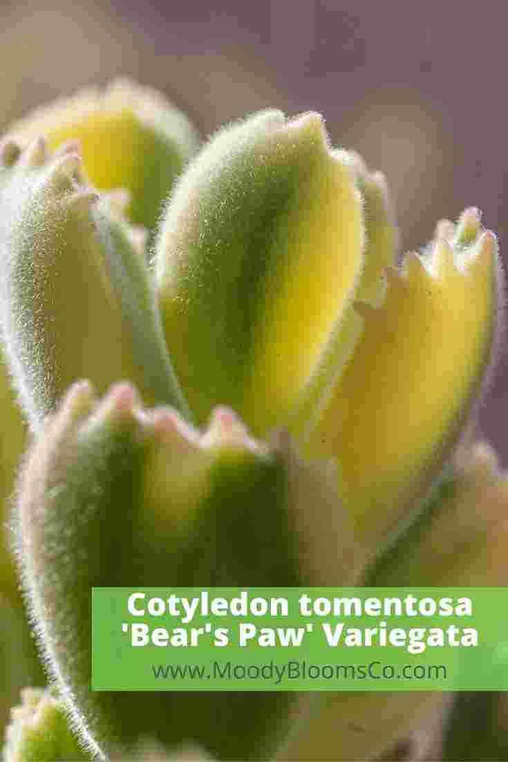 Cotyledon tomentosa 'Bear's Paw' Variegata