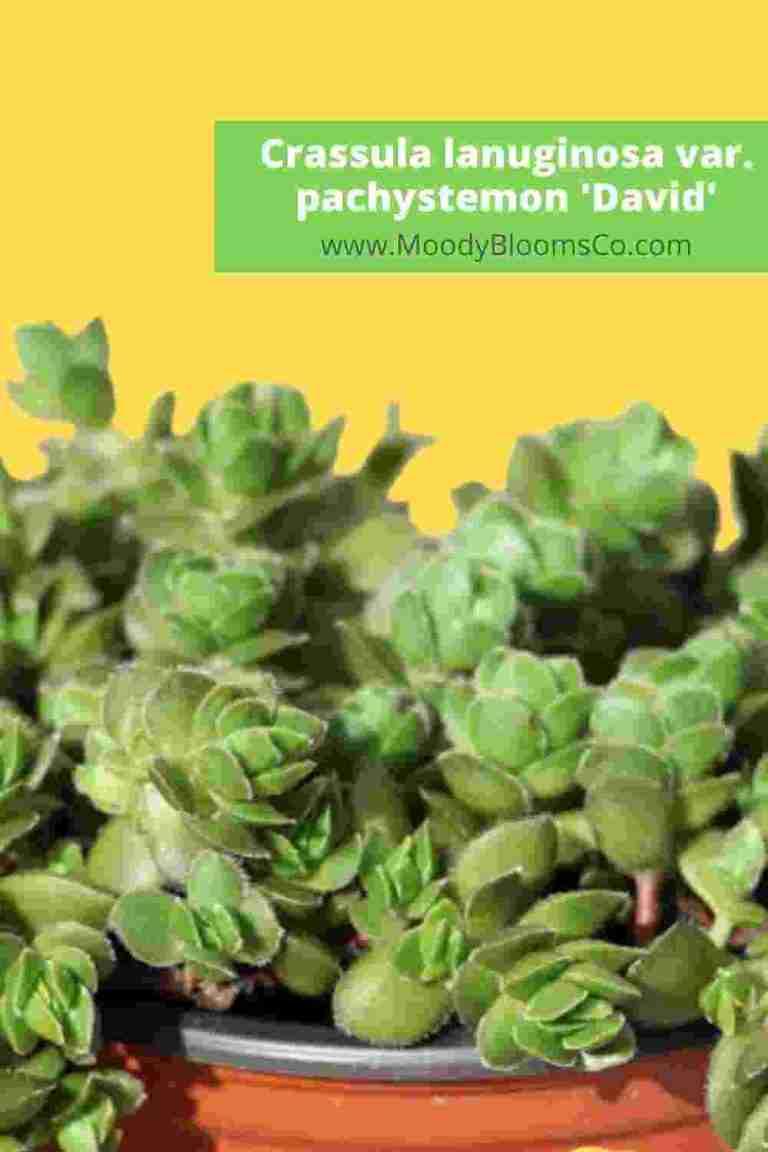 FUZZY SUCCULENTS Soft & Velvety Plants Crassula lanuginosa var. pachystemon 'David'