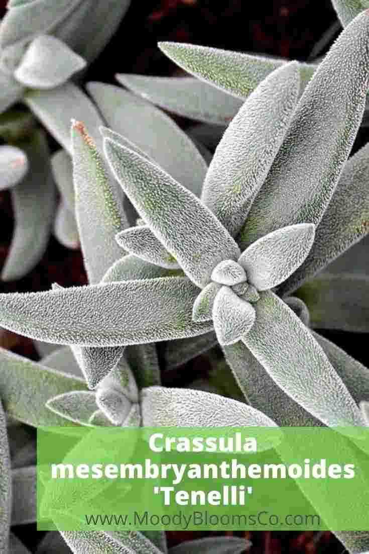 FUZZY SUCCULENTS Soft & Velvety Plants Crassula mesembryanthemoides 'Tenelli'