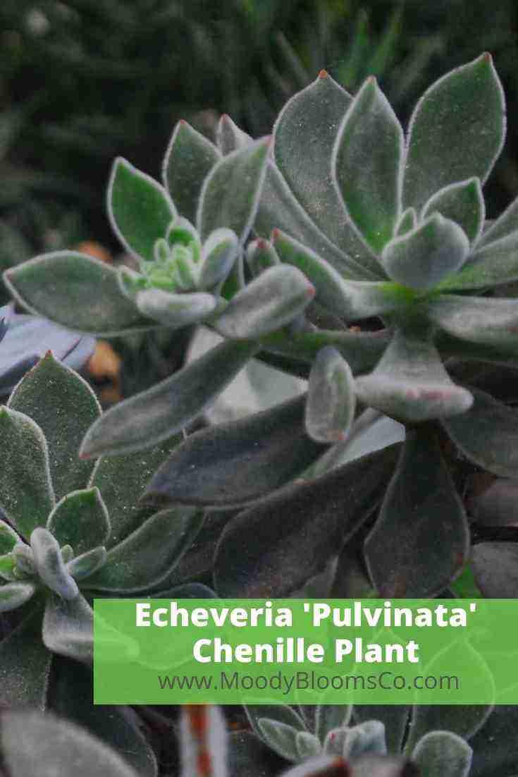 Echeveria 'Pulvinata' Chenille Plant