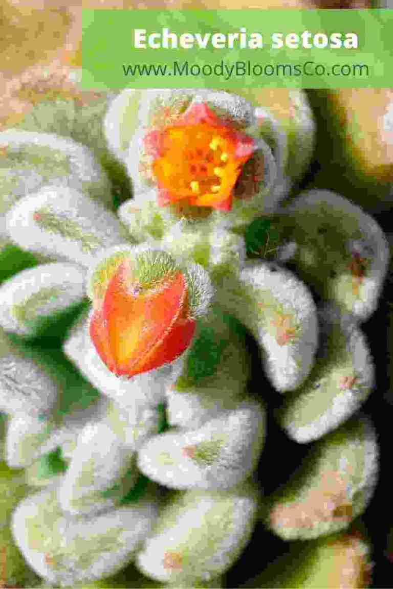 Echeveria Setosa Fuzzy Succulent