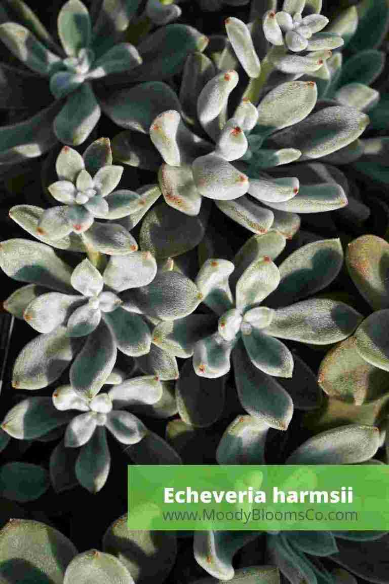 Fuzzy Succulents Echeveria harmsii