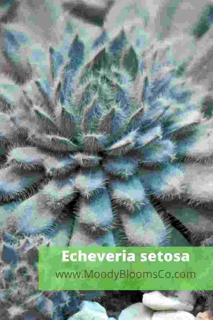 Fuzzy succulents Echeveria setosa