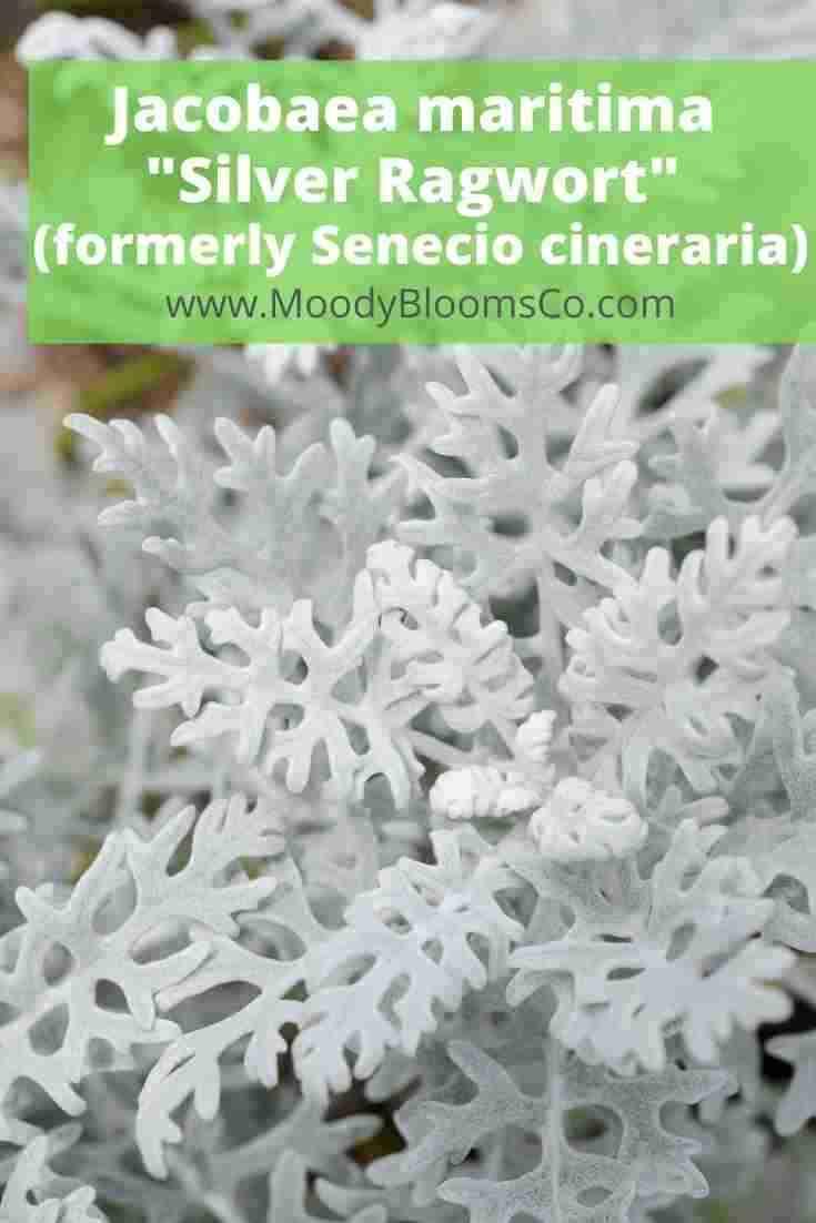 FUZZY SUCCULENTS Soft & Velvety Plants Jacobaea maritima _Silver Ragwort_ (formerly Senecio cineraria)