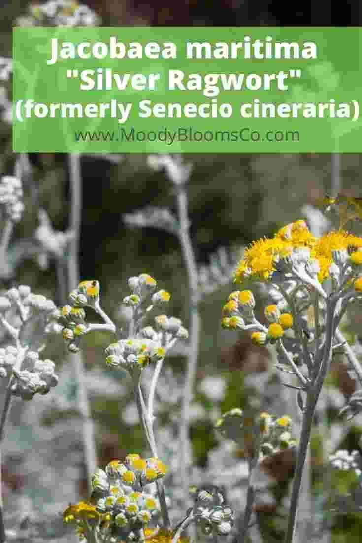 Jacobaea maritima _Silver Ragwort_ (formerly Senecio cineraria)