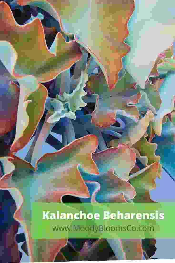 Fuzzy Succulents Kalanchoe beharensis