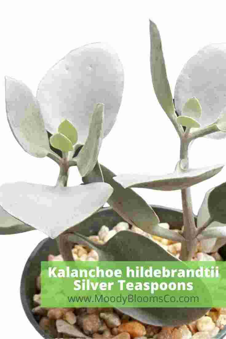 Kalanchoe hildebrandtii Silver Teaspoons