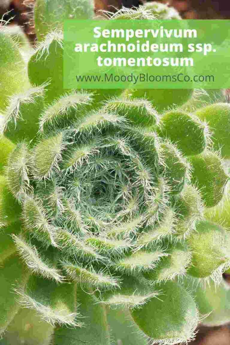 Sempervivum arachnoideum ssp.tomentosum