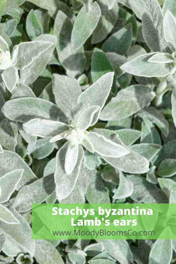 Stachys byzantina Lamb's ears