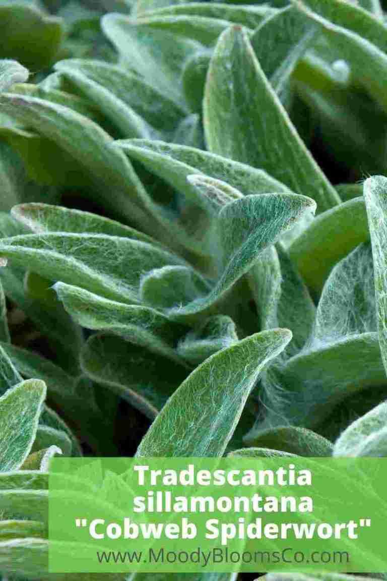 Tradescantia sillamontana Cobweb Spiderwort
