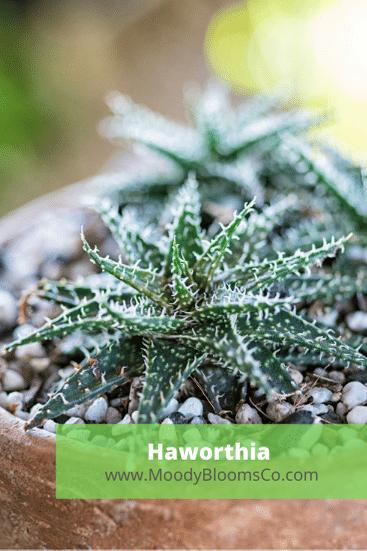 Haworthia