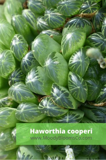 Haworthia cooperi