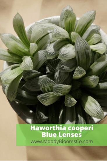 Haworthia cooperi Blue Lenses