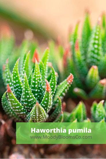 Haworthia pumila
