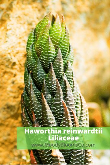 Haworthia reinwardtii Liliaceae