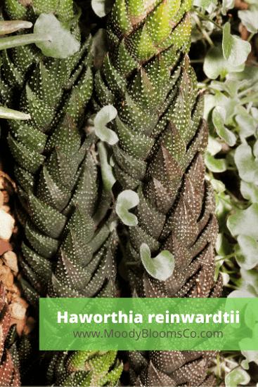 Haworthia reinwardtii