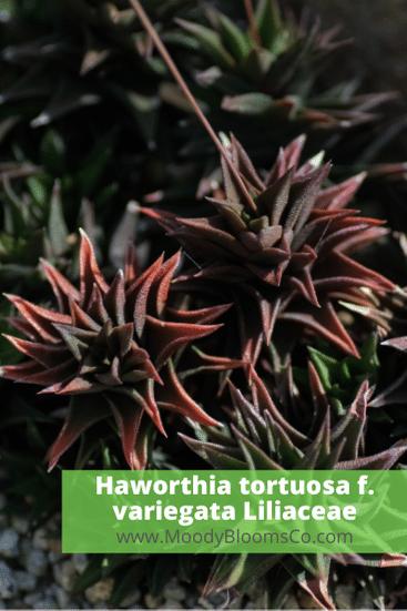 Haworthia tortuosa f. variegata Liliaceae