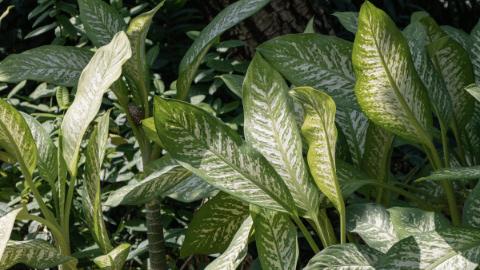 Growing Dumbcane Dieffenbachia – How To Care For A Dieffenbachia Plant