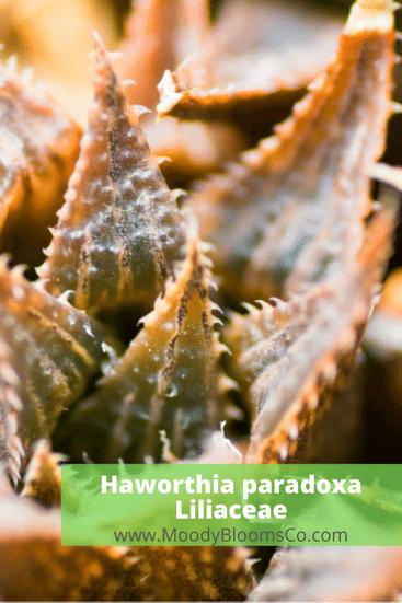 Haworthia paradoxa Liliaceae