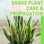 Snake Plant Care & PropagaTion