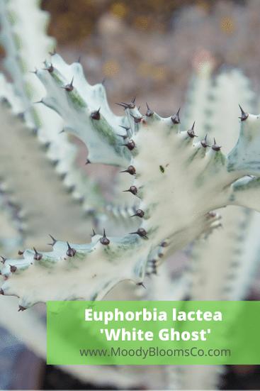Euphorbia lactea 'White Ghost' Euphorbia lactea 'White Ghost'