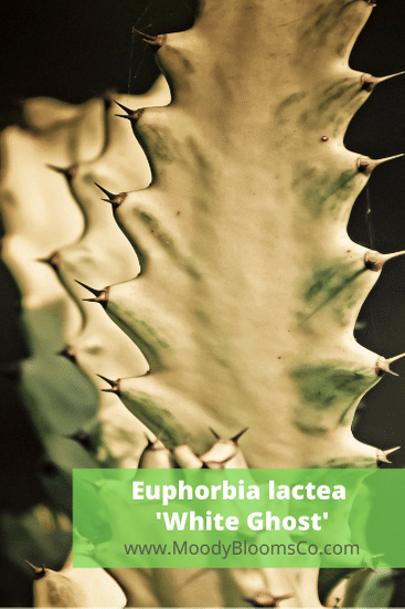 Euphorbia lactea 'White Ghost'